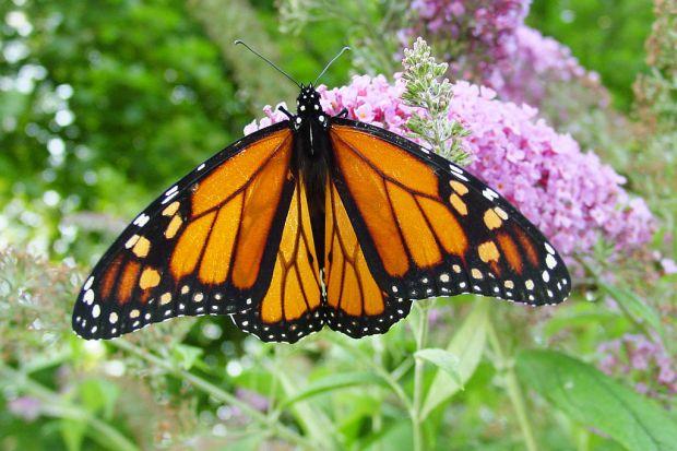 1024px-Male_monarch_butterfly